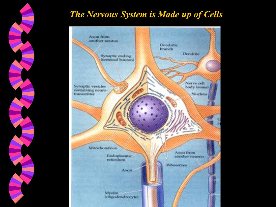 The Nervous System is Made up of Cells