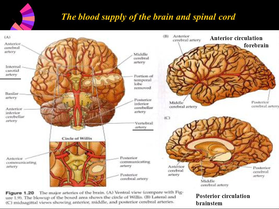 The blood supply of the brain and spinal cord