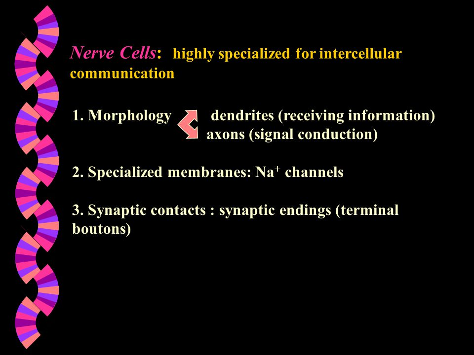 Nerve Cells: highly specialized for intercellular communication