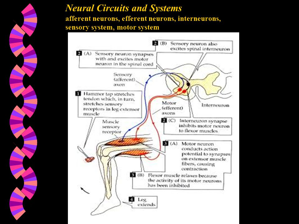Neural Circuits and Systems