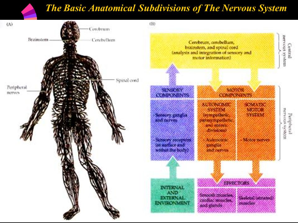 The Basic Anatomical Subdivisions of The Nervous System