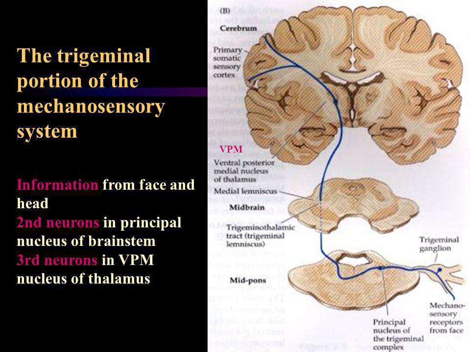 The trigeminal portion of the mechanosensory system