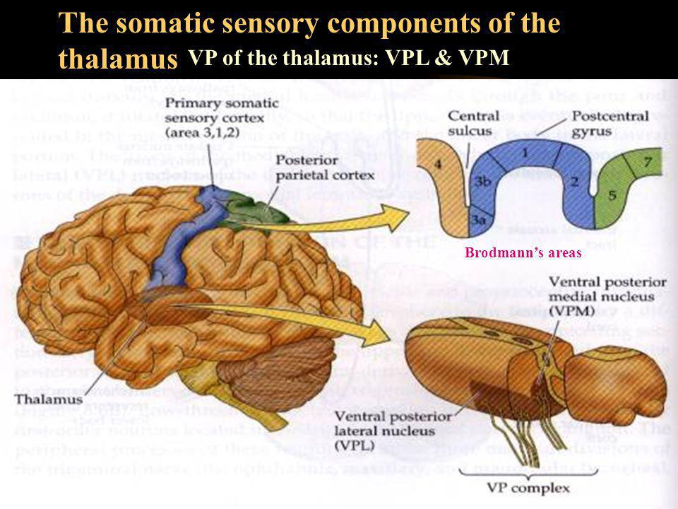 The somatic sensory components of the thalamus