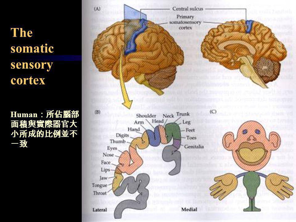 The somatic sensory cortex