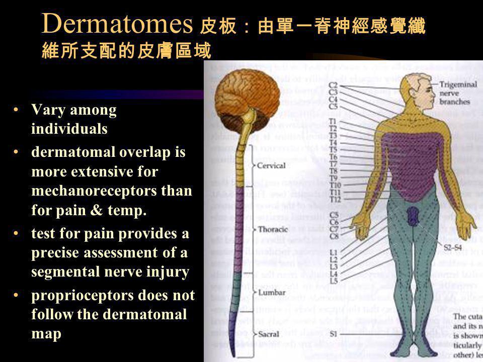 Dermatomes 皮板:由單一脊神經感覺纖維所支配的皮膚區域