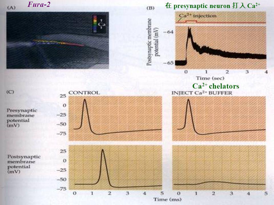 Fura-2 在 presynaptic neuron 打入 Ca2+ Ca2+ chelators