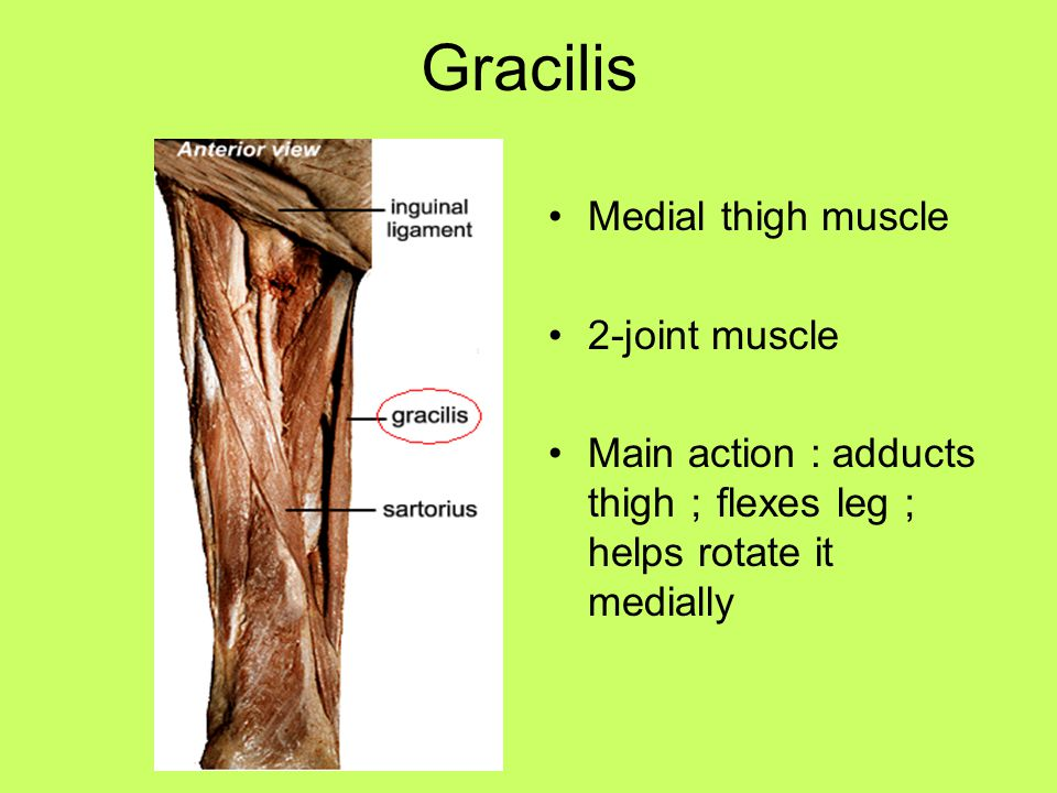 Gracilis Medial thigh muscle 2-joint muscle