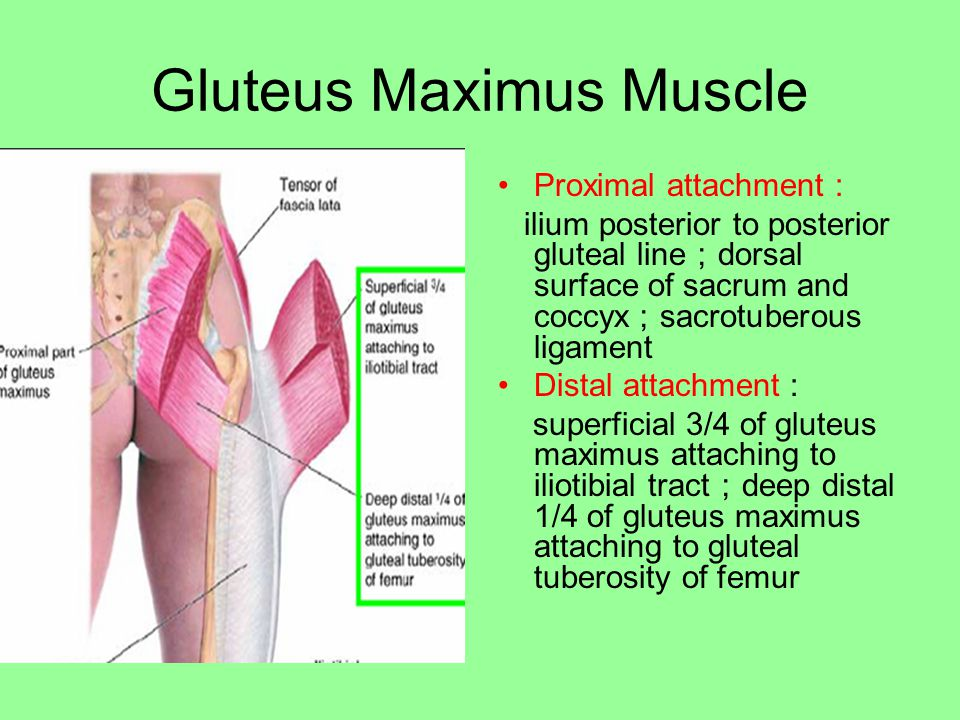 Gluteus Maximus Muscle