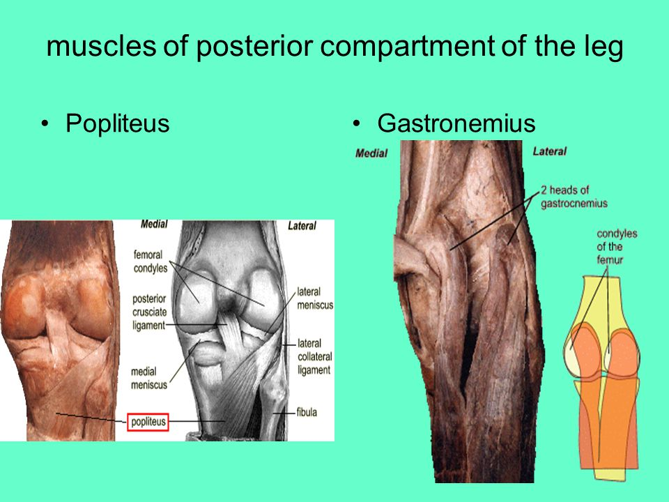 muscles of posterior compartment of the leg