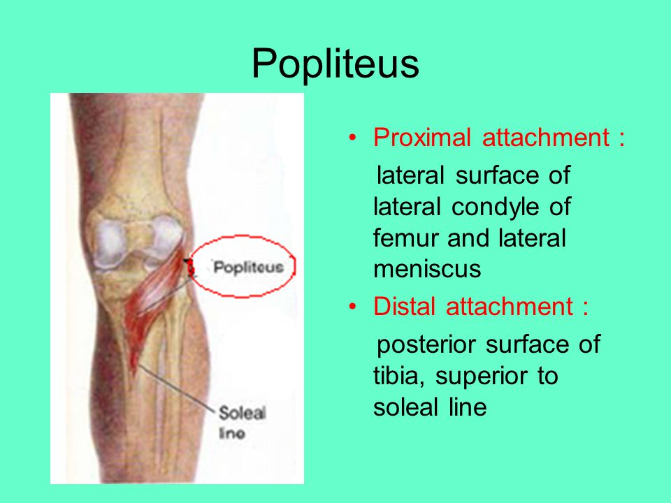 Popliteus Proximal attachment :