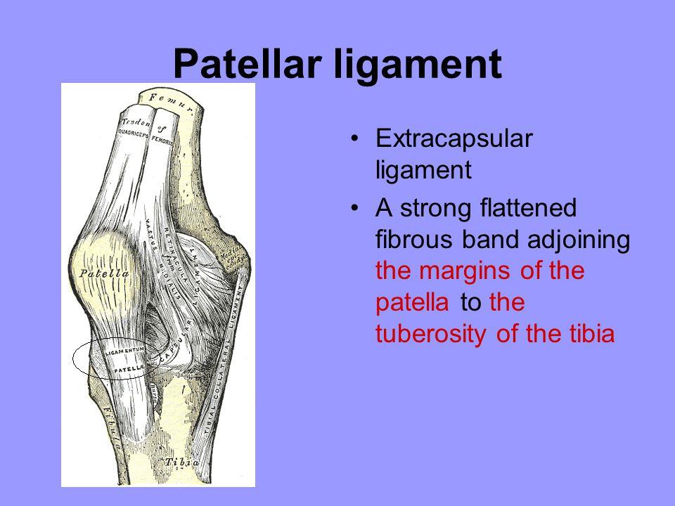Patellar ligament Extracapsular ligament