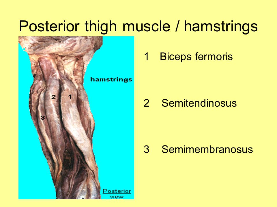 Posterior thigh muscle / hamstrings