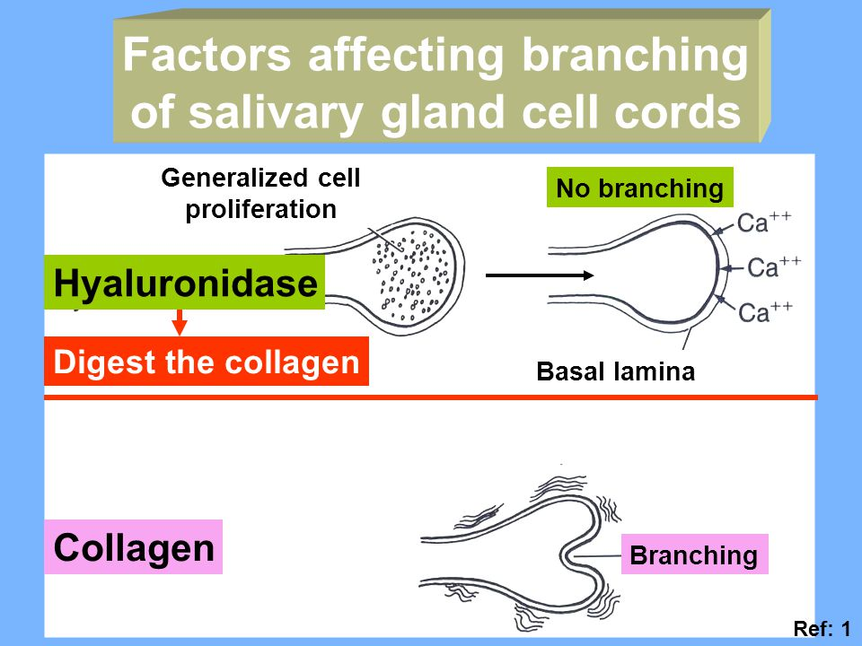 Factors affecting branching of salivary gland cell cords