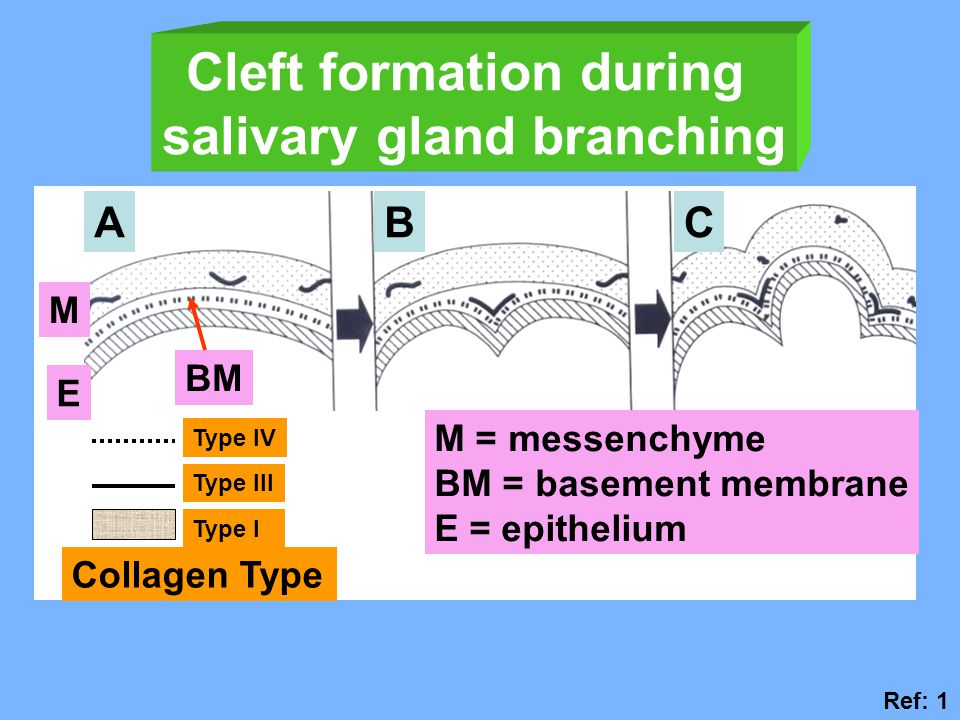 Cleft formation during salivary gland branching