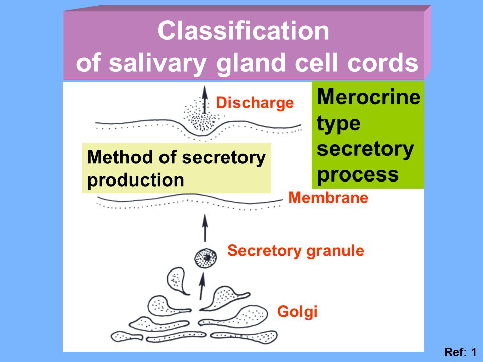 of salivary gland cell cords