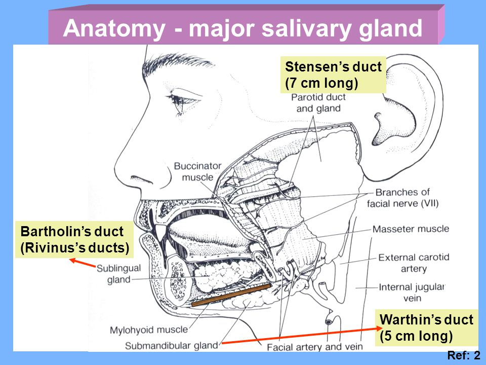 Anatomy - major salivary gland