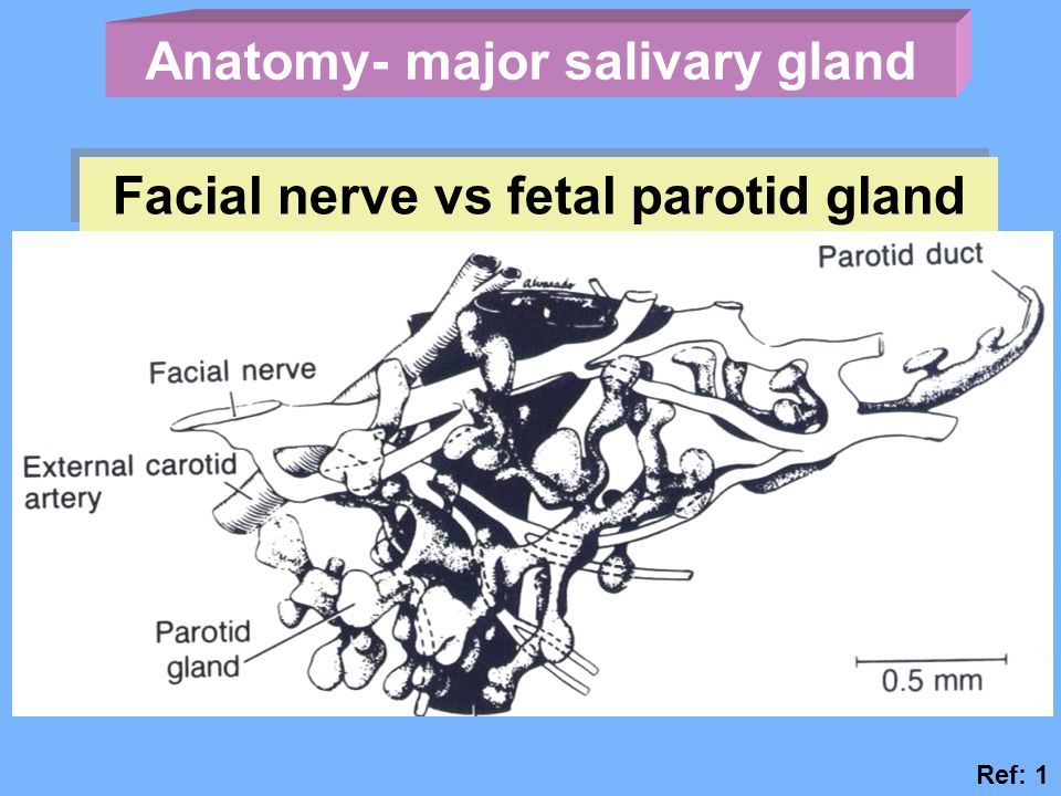 Anatomy- major salivary gland Facial nerve vs fetal parotid gland