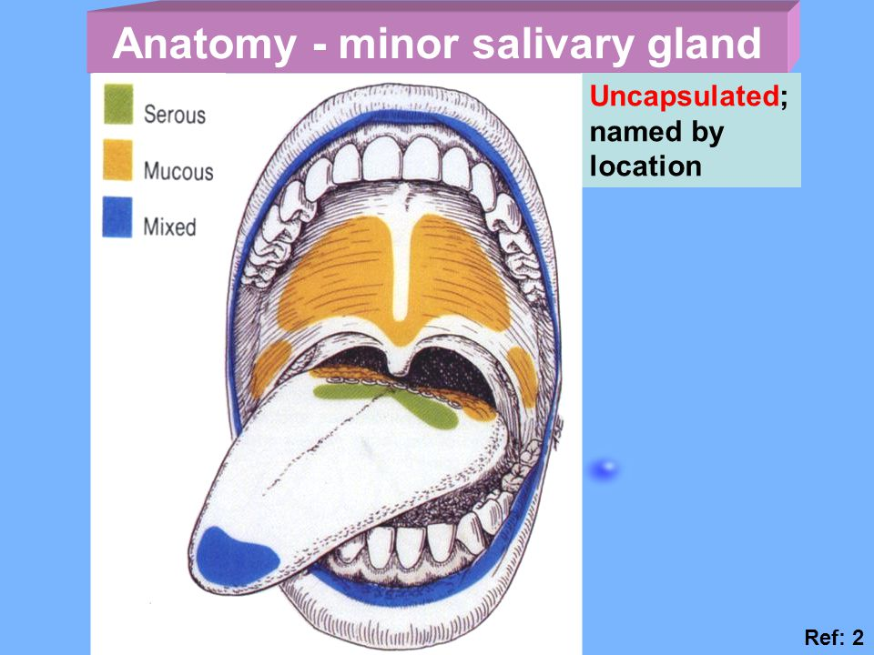 Anatomy - minor salivary gland