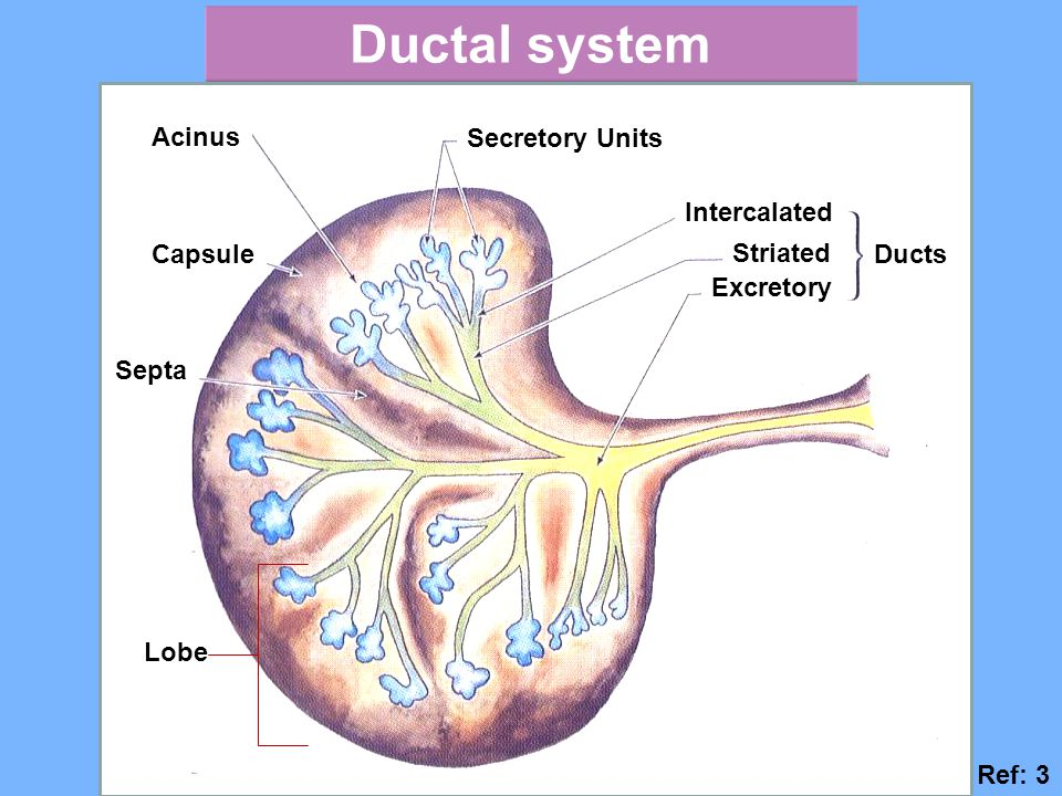 Ductal system Acinus Capsule Septa Lobe Secretory Units Intercalated