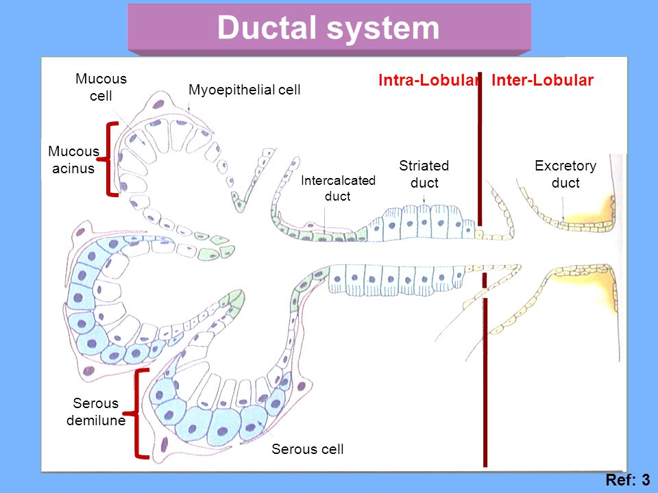 Ductal system Intra-Lobular Inter-Lobular Ref: 3 Striated duct