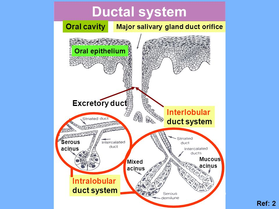 Ductal system Oral cavity Excretory duct Interlobular duct system