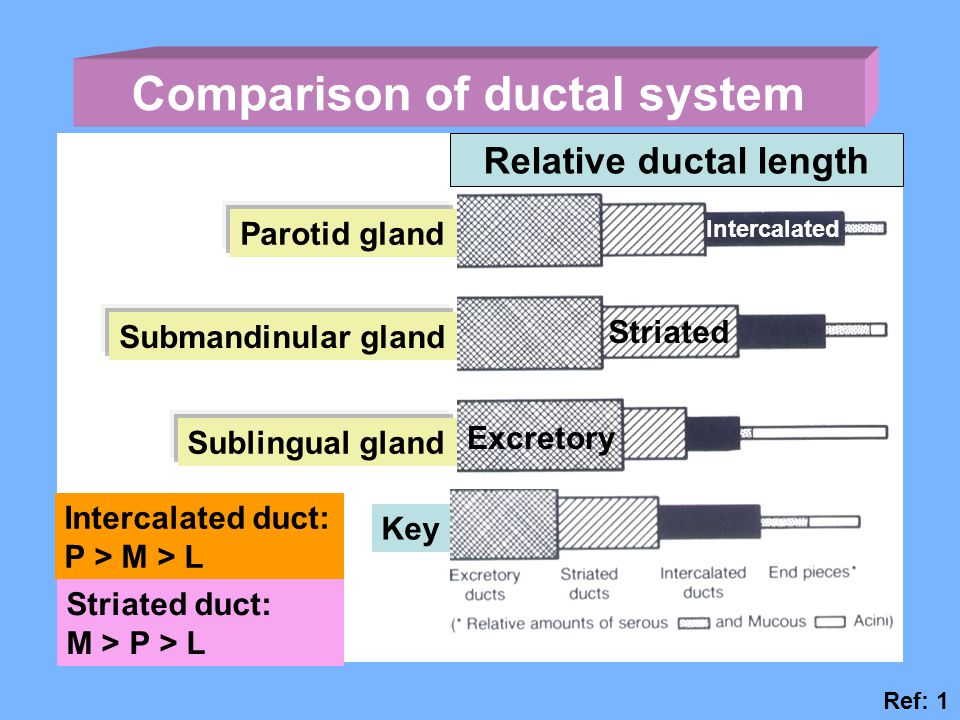 Comparison of ductal system