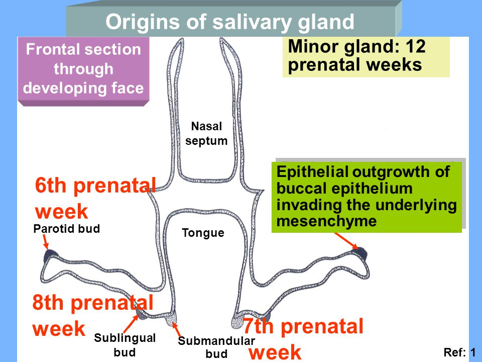 Origins of salivary gland