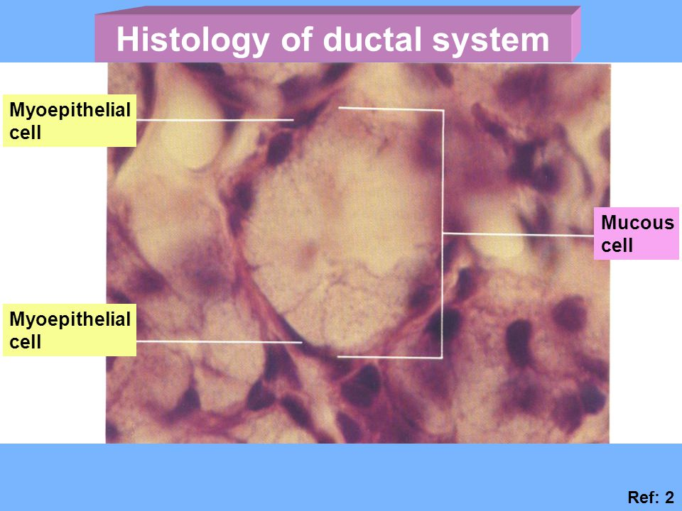 Histology of ductal system