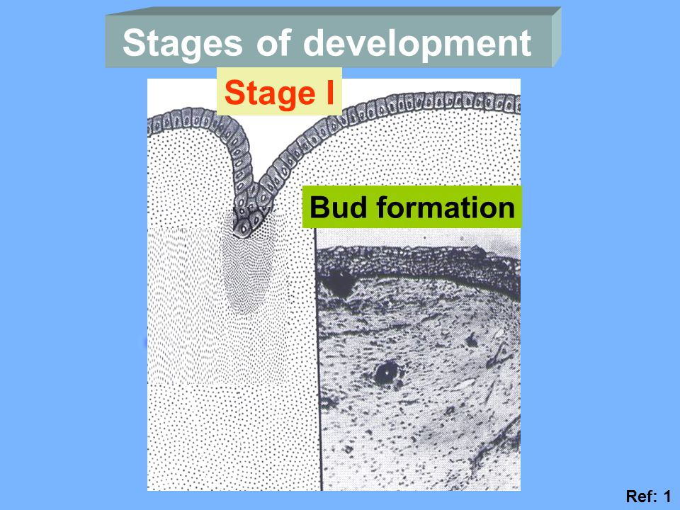 Stages of development Stage I Bud formation Ref: 1