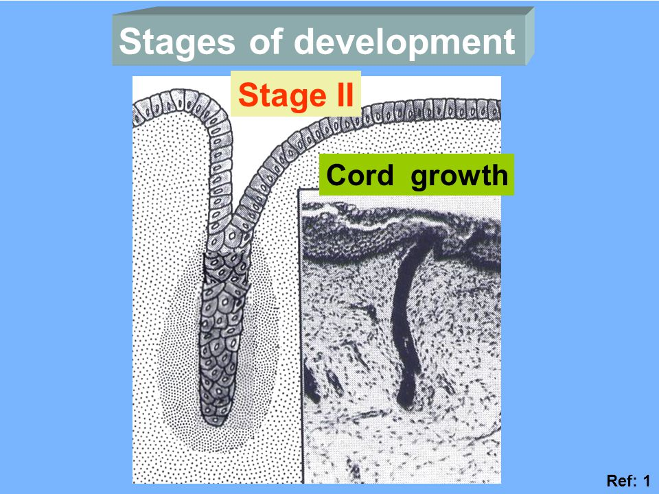Stages of development Stage II Cord growth Ref: 1