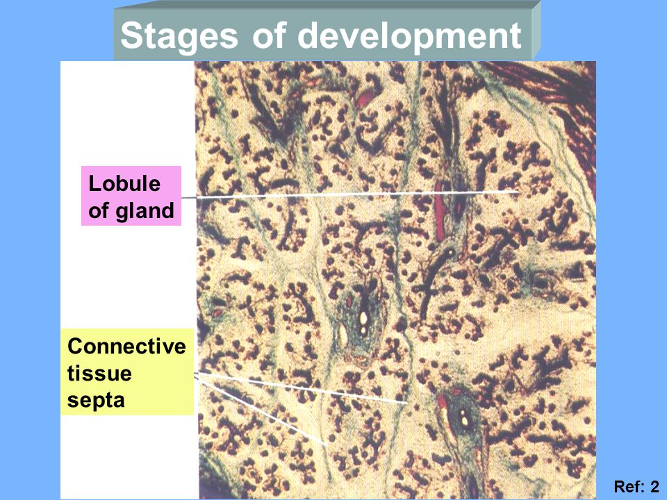 Stages of development Lobule of gland Connective tissue septa Ref: 2