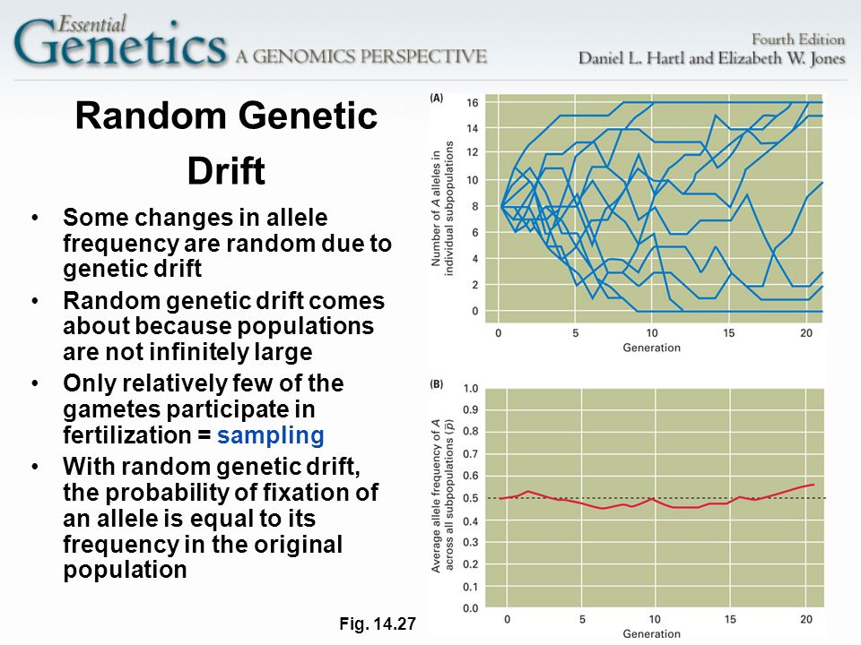 Random Genetic Drift Some changes in allele frequency are random due to genetic drift.