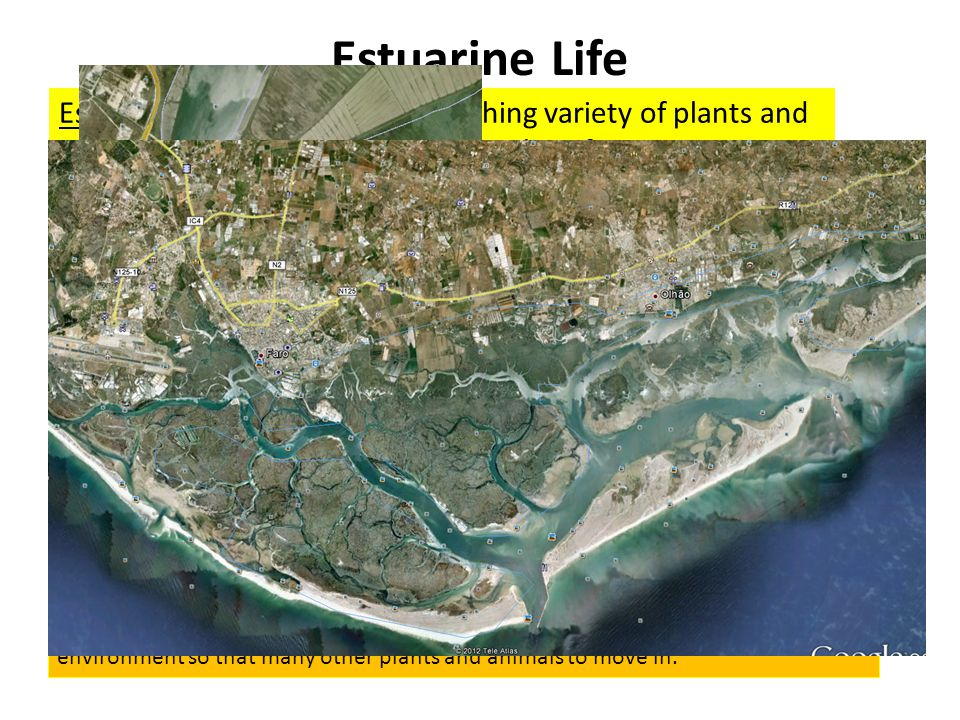 Estuarine Life Estuaries are home to an astonishing variety of plants and animals and important in the lifecycles of many more.