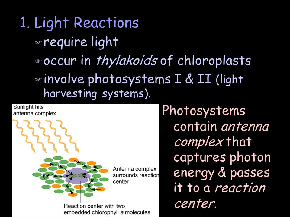 1. Light Reactions require light occur in thylakoids of chloroplasts