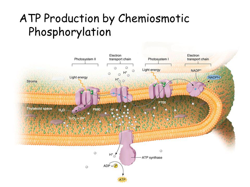 ATP Production by Chemiosmotic Phosphorylation