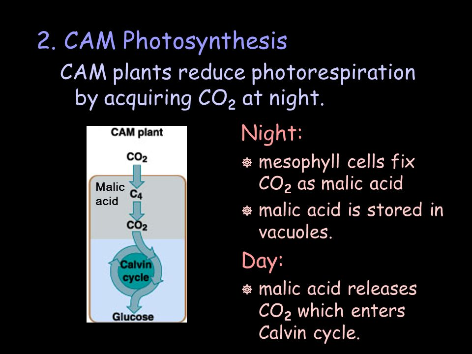 2. CAM Photosynthesis CAM plants reduce photorespiration by acquiring CO2 at night. Night: mesophyll cells fix CO2 as malic acid.