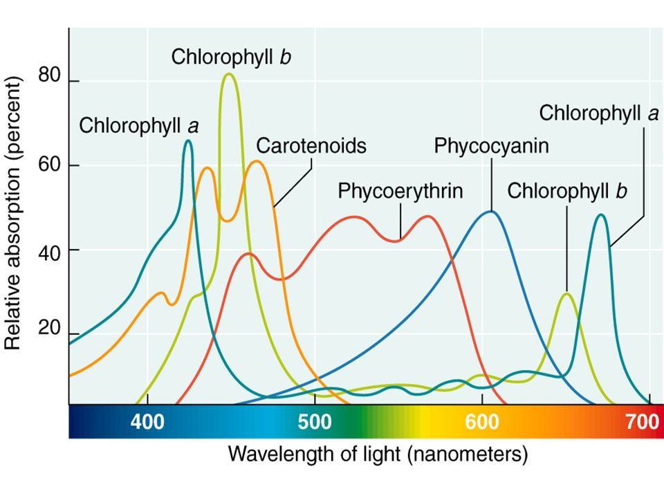 Chlorophylls absorb red (600-700nm) & blue (400-500nm) wavelengths of light best. Since these are the primary photosynthetic pigments, photosynthesis occurs maximally under red & blue lights (reason why grow-lamps have a purple hue).