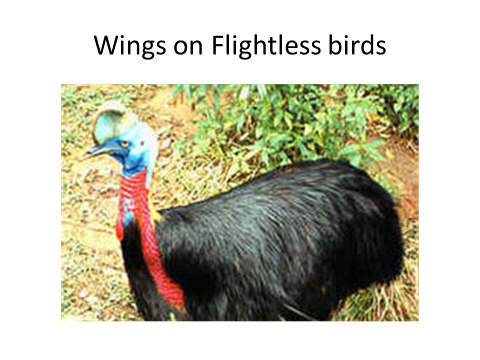 Wings on Flightless birds