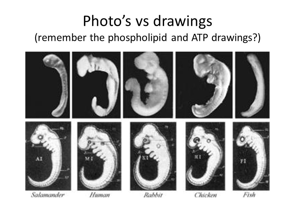 Photo's vs drawings (remember the phospholipid and ATP drawings )