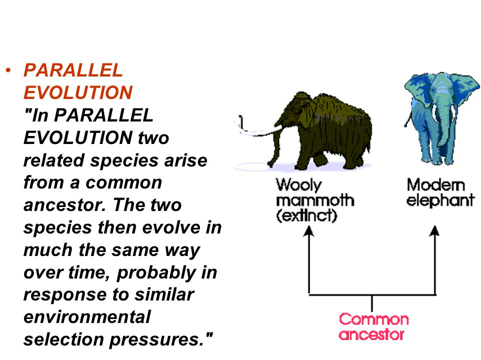 PARALLEL EVOLUTION In PARALLEL EVOLUTION two related species arise from a common ancestor. The two species then evolve in much the same way over time, probably in response to similar environmental selection pressures.