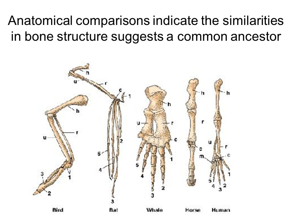 Anatomical comparisons indicate the similarities in bone structure suggests a common ancestor