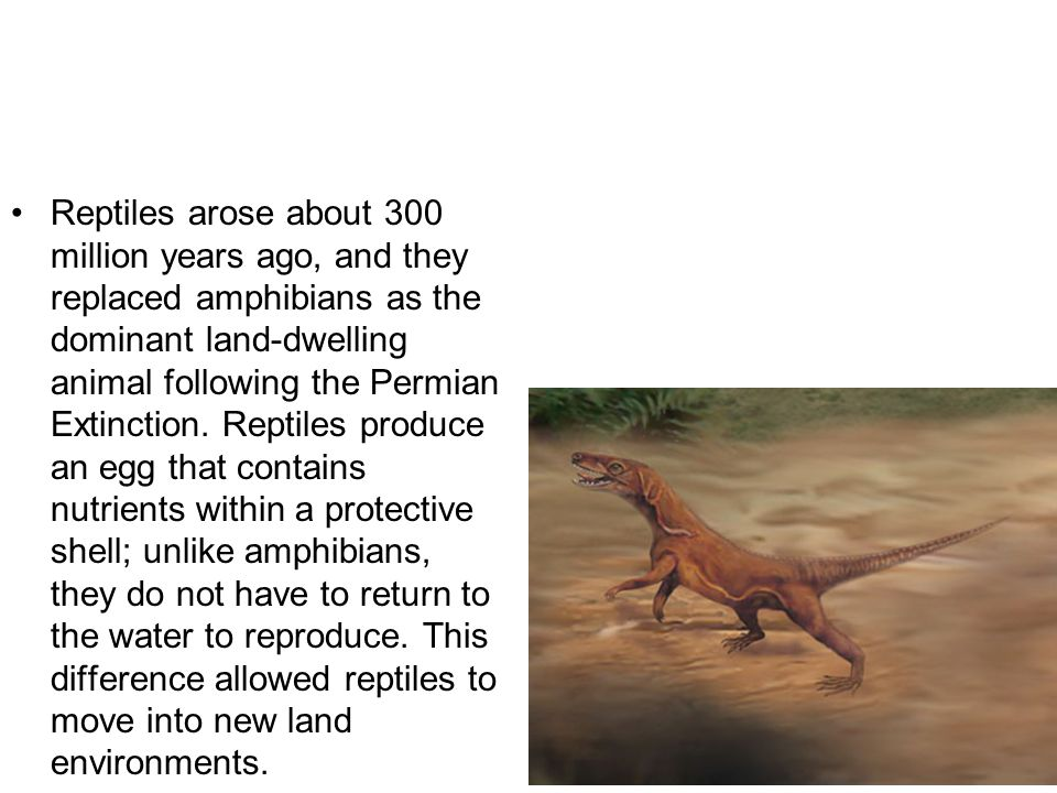 Reptiles arose about 300 million years ago, and they replaced amphibians as the dominant land-dwelling animal following the Permian Extinction.