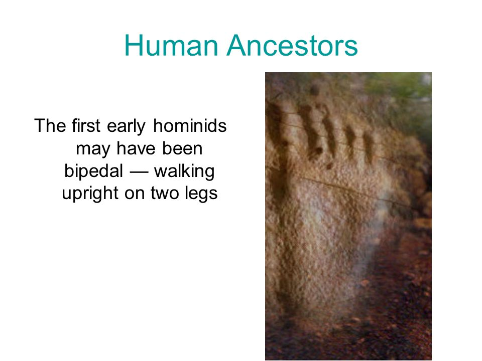 Human Ancestors The first early hominids may have been bipedal — walking upright on two legs