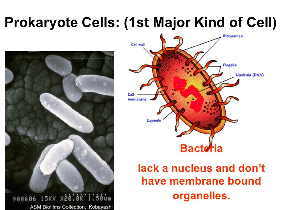 Prokaryote Cells: (1st Major Kind of Cell)