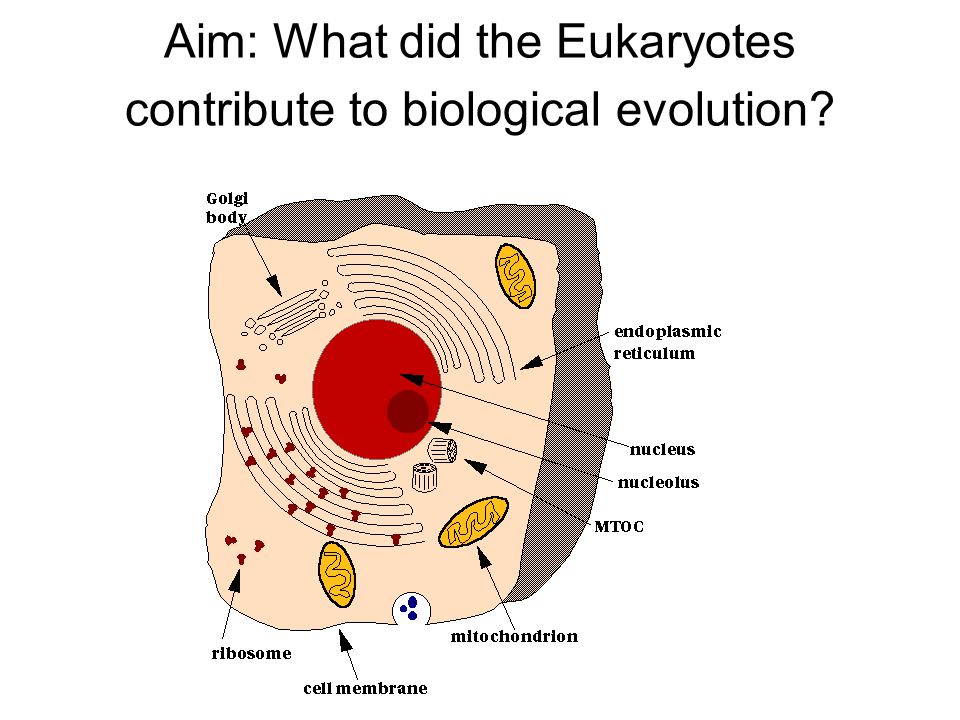 Aim: What did the Eukaryotes contribute to biological evolution