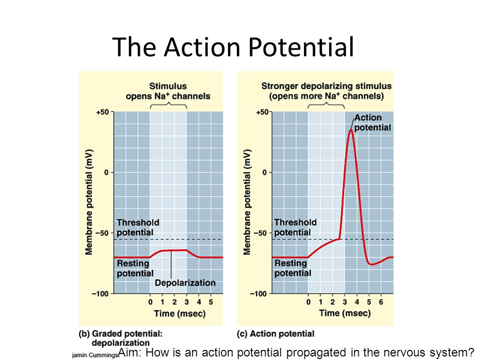 The Action Potential Aim: How is an action potential propagated in the nervous system
