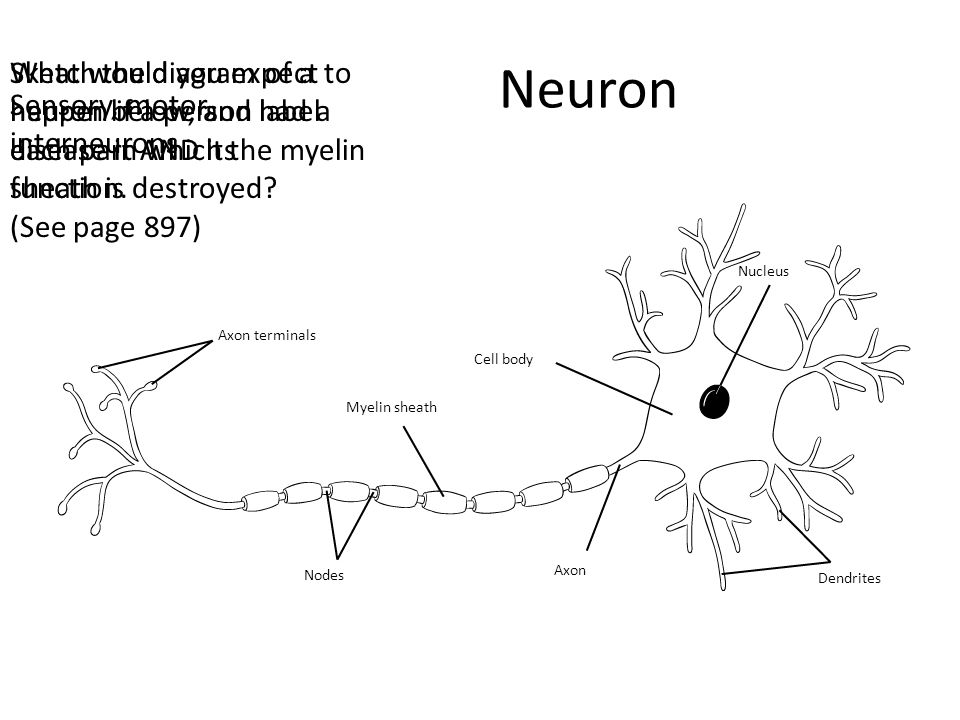 Neuron Sketch the diagram of a neuron below, and label each part AND its function. (See page 897)