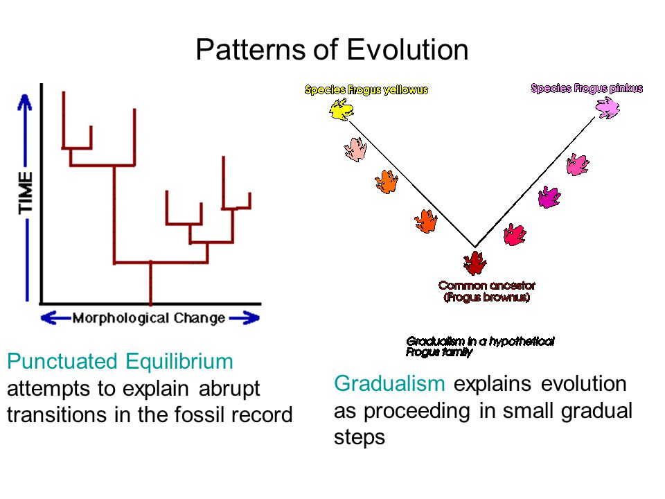 Patterns of Evolution Punctuated Equilibrium attempts to explain abrupt transitions in the fossil record.