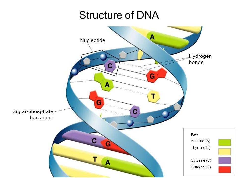 Structure of DNA Nucleotide Hydrogen bonds Sugar-phosphate backbone