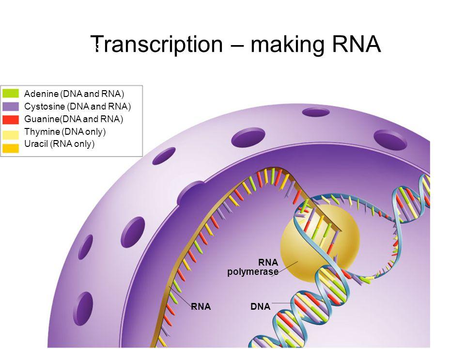 Transcription – making RNA